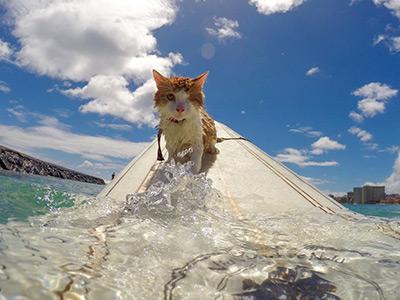 surfing-cat